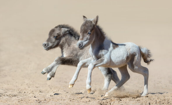 American miniature horse. Two newly born foals with blue eyes.