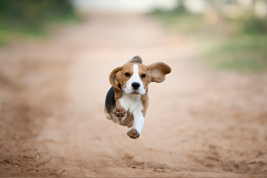 Sweet beagle puppy running at in you in the sand field