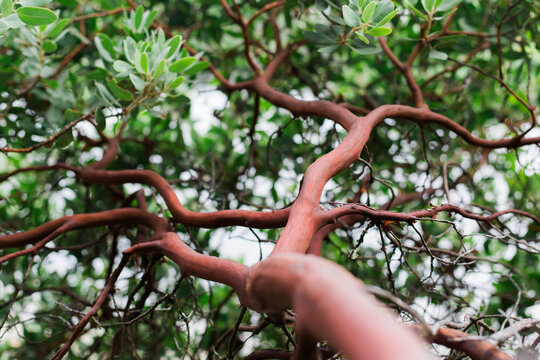 Manzanita bush trunk and leaves