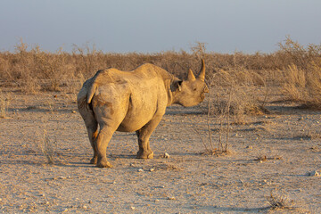 Printed kitchen splashbacks Rhino Black rhinoceros (Diceros bicornis) foraging in low scrub at sunrise