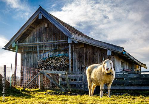 Wall mural sheep at a farm