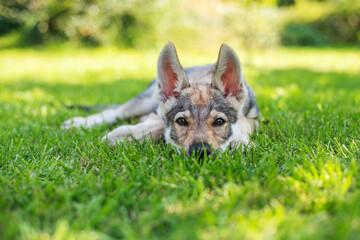 Szczeniak leżący na trawie