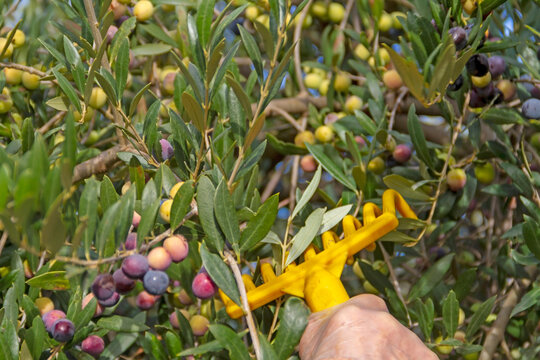 Olives of the Arbequina variety being harvested with the rake method near the town of Mallén, province of Zaragoza in the region of Aragon (Spain)