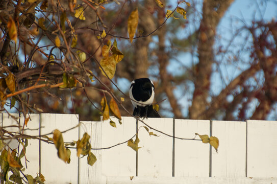 A Magpie perched on a Fence