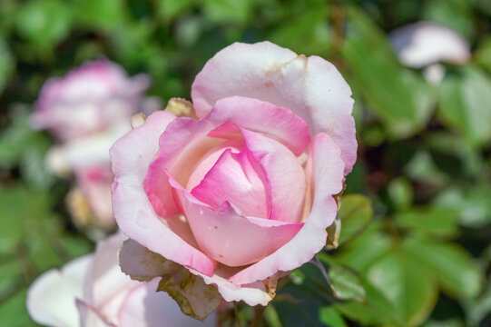 Rose Honore de Balzac Pink rose in the park garden close up view