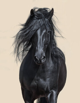Black Andalusian Horse with long mane.