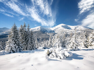 Wall Mural - Incredible winter spruces in snow on a frosty day. Location place Carpathian mountains, Ukraine, Europe.