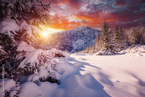 Wall mural Exotic winter spruces in snow on a frosty day. Location place Carpathian mountains, Ukraine, Europe.