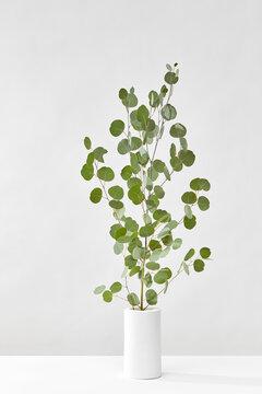 Green Eucalyptus plant in a vase.