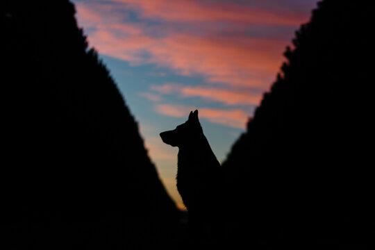 silhouette of German shepherd