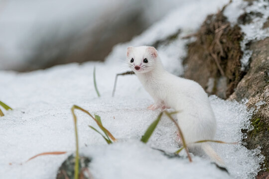 least weasel on a snow 1