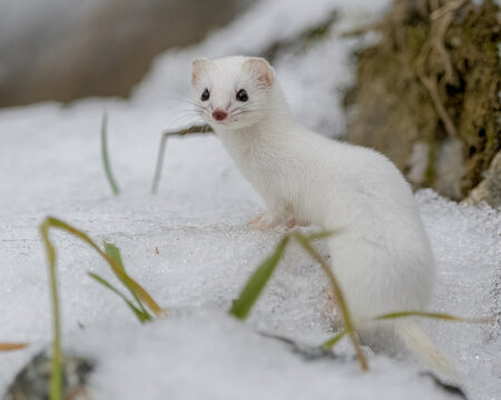 least weasel on a snow 2
