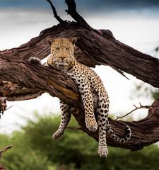 Wall Murals Leopard Beautiful shot of a leopard on a tree branch