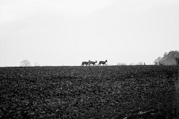 Sarny idące wzdłuż pola