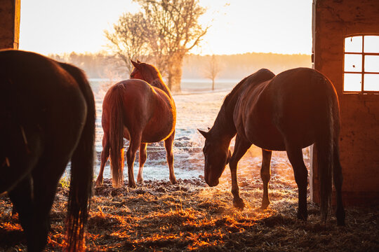 Group of horses exiting the stable on a cold winter morning