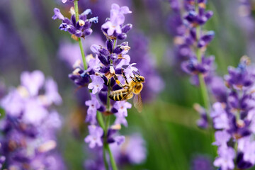 A bee looking for pollen on lavender