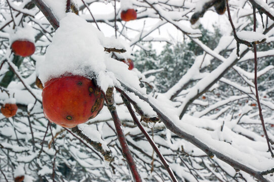Frozen apple on a snow covered tree