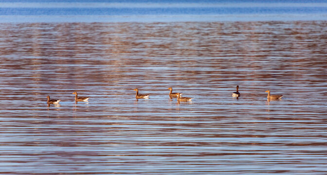 Geese in a line with one exception