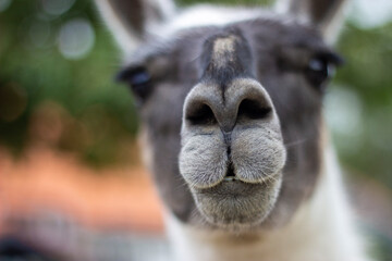 The white snout of a gray-faced llama in a close-up.