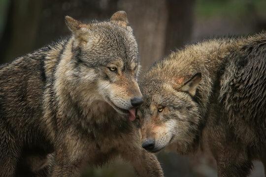 Tendresse entre loups gris