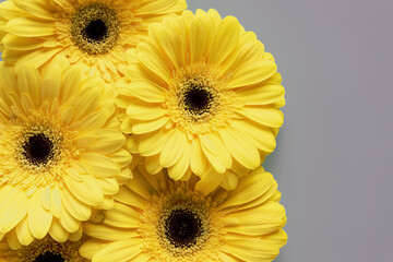 Demonstrating trendy colors 2021 - Gray and Yellow. Beautiful gerbera flowers on grey background with copy space