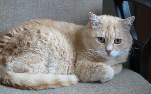 A beautiful domestic cat lies on an office chair near the armrest. Soft focus.