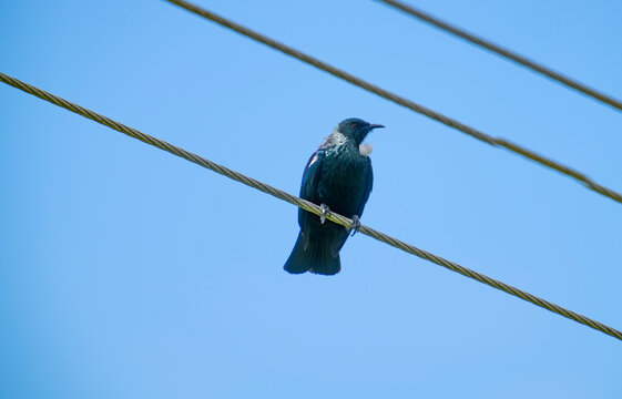 Tui high up on powerline.