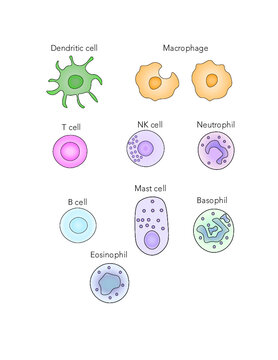 Immune cells [dendritic cell, macrophage, eosinophil, mast cell, NK cell, neutrophil, T and B cells]