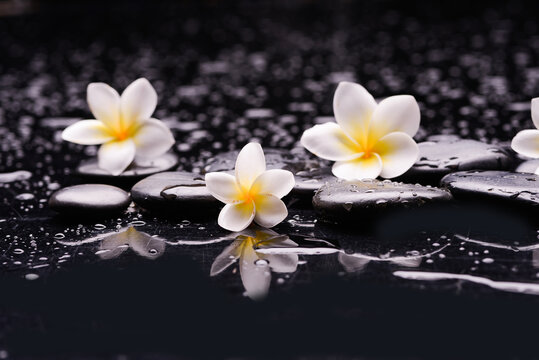 spa still life of with three  white frangipani and zen black stones ,wet background