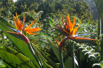 Amazing flowers of Strelitzia reginae, commonly known as the crane flower or bird of paradise, met on Gran Canaria, Canary Islands, Spain.