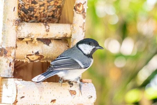 Kohmeise im Vogelhaus abgewandt