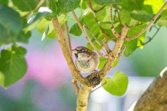 Spatzenmännchen im Baum versteckt