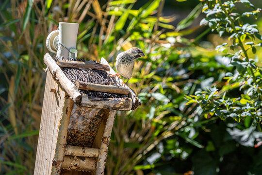 Spatz auf Vogelhaus interessiert