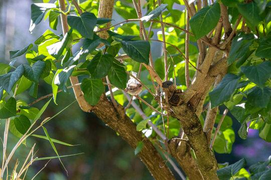 Spatzenweibchen im Baum versteckt