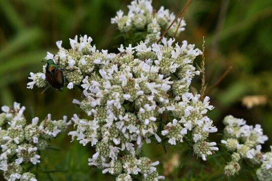 Beetle on the Viburnum