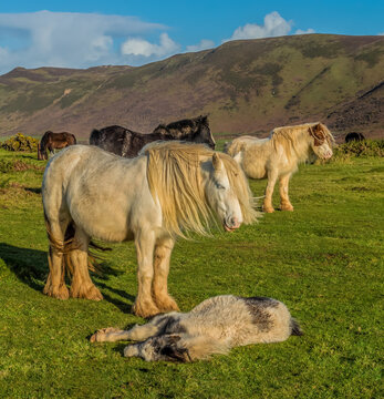 Rossili Bay, Ponies