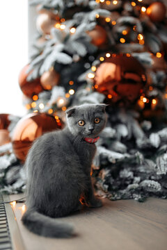 Pretty little scotish cat sitting on the floor in front of Christmas tree at home.