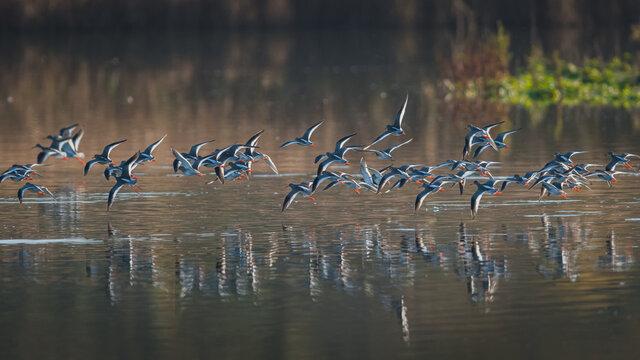 Common Redshank, Redshank, Tringa totanus - birds in the flight in the sunrise