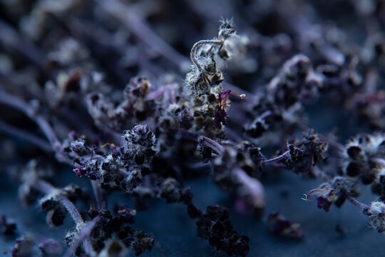 Dried inflorescences of purple basil on a blue background. Close-up. Blurred background