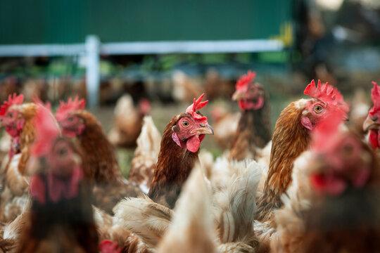 Hühner in der Freilandhaltung mit Mobilstall und Hühnernetz