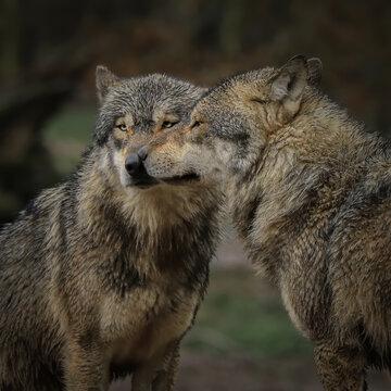 Couple de loups gris