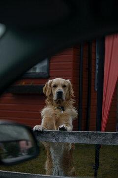 Golden retriever portrait from a window car