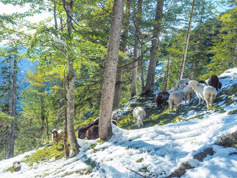 Bayerische Alpen - Schafe im Schnee