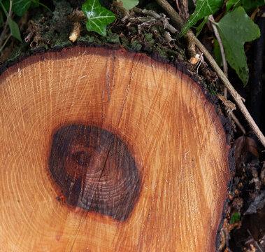 cut sawn log end exposed grain core details