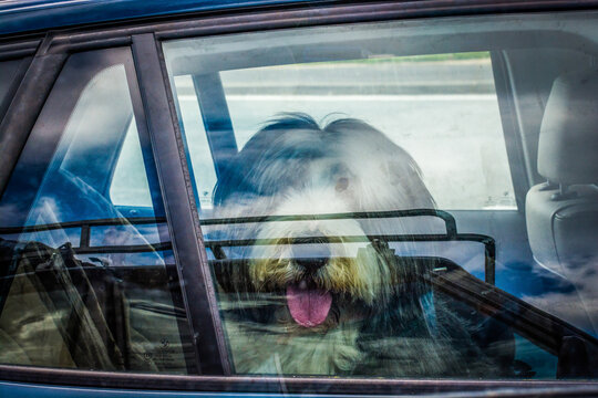 Cute big dog with tongue out in hot weather locked in a car on parking spot