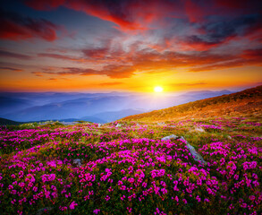 Wall Mural - Attractive scene with flowering hills illuminated by the sunset.