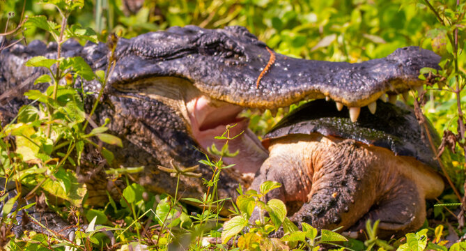 alligator eating a snapping turtle