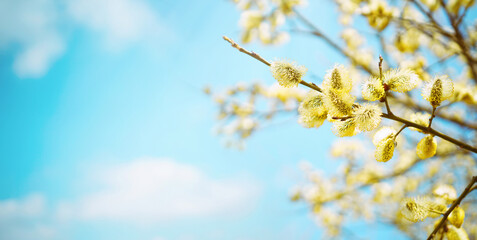 Blooming fluffy willow branches in spring close-up on nature macro on blue background sky with...