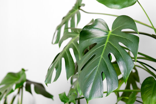 Monstera deliciosa or Swiss cheese plant in a gray concrete flower pot stands on a table on a gray background.Hipster scandinavian style room interior.