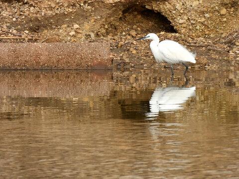 bird Little egret